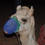 Верблюд в пустыне возле Дубая